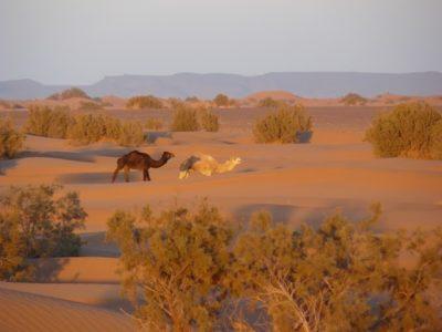 Chameau dans le désert marocain